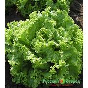 Салат листовой Эндивий Миледи (0,5 г) фото