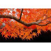 Клен дерево с комом опт:канадскийполевойкрасныйясенелистный. фото