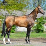 Ахалтекинский жеребец кличка Поморник/Akhal-Teke stallion nickname Pomornik фото