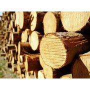 Заготовка леса Тополь Береза Осина Ель Сосна. фото