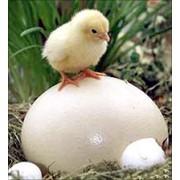 Молодняк птицы мясояичной породы ТЕТРА-АШ фото