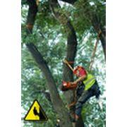 Обрезка старых плодоносящих деревьев фото