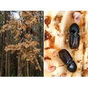Борьба с вредителями жук-короед фото