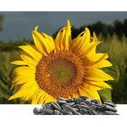 Переработка подсолнечника, семян подсолнечника фото