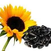 Семена подсолнечника Рембо Румыния фото