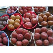 Производим и реализуем семенной картофель фото