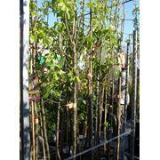 Плодовые деревья- вишня груша яблоня. фото