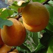 Саженцы абрикоса 3-х сортов фото