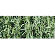 Семена пшеницы мягкой яровой фото