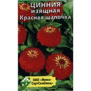 Цинния изящная Красная шапочка группа Лилипутовая фото