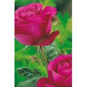 Роза чайно-гибридная (крупноцветковая) Кровавая фото