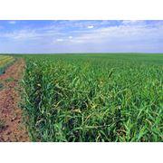 Семена суданской травы купить в Казахстане фото
