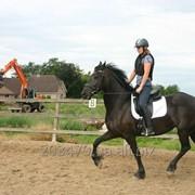 Фризская лошадь 168 см 4 года фото
