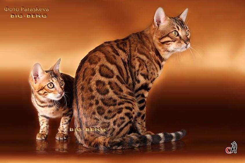 Бенгальские котята. Продажа бенгальских котят. Киев - Объявления ... | 564x846