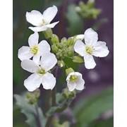 Пакетированные семена цветов почтой Украина фото