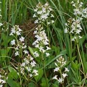 Вахта трехлистная (трава) 30г фото