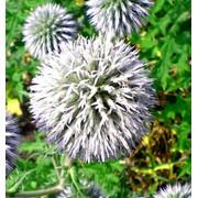 Мордовник шароголовый (Семена) 50г фото