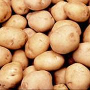 Картофель молодой сортов Ред Скарлетт фото