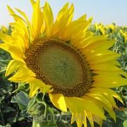 Семена подсолнечника Украинский F1 фото