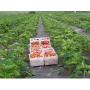 Сельскохозяйственная пленка Агрол 60 мульча фото