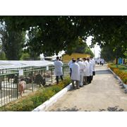 Reproducerea porcilor in Moldova фото