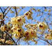 Chimonanthus praecox Химонант (Зимоцвет) ранний фото