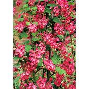 "Ribes sanguineum ""King Edward VII"" Смородина кроваво-красная ""Кинг Эдвард VII"" фото"