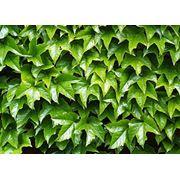 """Parthenocissus tricuspidata """"Veitchii"""" Девичий виноград триостренный """"Вейтчи"""" фото"""