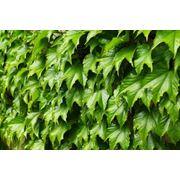 """Parthenocissus tricuspidata """"Green Spring"""" Девичий виноград триостренный """"Грин Спринг"""" фото"""