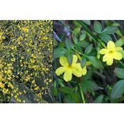Jasminum nudiflorum Жасмин голоцветный фото