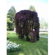 "Fagus silvatica ""Purpurea Pendula"" Бук лесной ""Пурпуреа Пендула"" фото"
