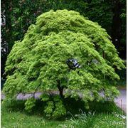 Acer palmatum Клен веерный фото