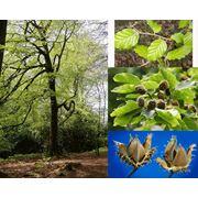 Fagus silvatica Бук лесной фото