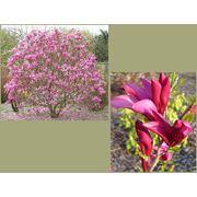 "Magnolia ""Susan"" Магнолия ""Сьюзен"" фото"