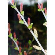 Betula humilis Береза низкая фото