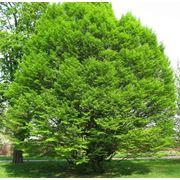 "Carpinus betulus ""Fastigiata"" Граб обыкновенный ""Фастигиата"" фото"