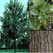 Populus nigra Тополь черный фото