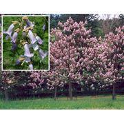 Paulownia tomentosa Павловния Адамово дерево фото