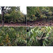 Sapindus saponaria Мыльное дерево Сапиндус мыльный фото