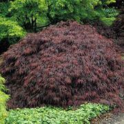 "Acer palmatum ""Dissectum Garnet"" Клен веерный ""Дисектум Гарнет"" фото"
