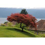 "Acer palmatum ""Dissectum Atropurpureum"" Клен веерный ""Атропурпуреум"" фото"