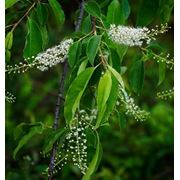 Prunus serotina Черемуха поздняя фото