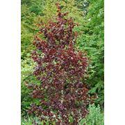 "Betula pendula ""Purpurea"" Береза повислая ""Пурпуреа"" фото"