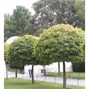 """Acer platanoides """"Globosum"""" Клен остролистный """"Глобозум"""" фото"""