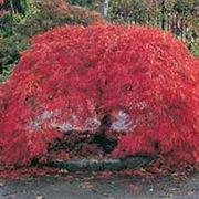 "Acer palmatum ""Bloodgood"" Клен веерный ""Бладгуд"" фото"