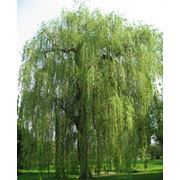 Salix alba Ива белая (серебристая Ветла Белолаз) фото
