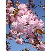 "Prunus serrulata ""Kiku-shidare-zakura"" Вишня мелкопильчатая ""Кику-шидаре-закура"" фото"
