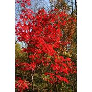 "Acer palmatum ""Fireglow"" Клен веерный ""Файаглоу"" фото"