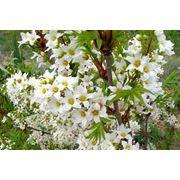 Чекалкин орех рябинолистный - Xanthoceras sorbifolium фото
