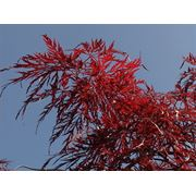 """Acer palmatum """"Dissectum Inaba-shdare"""" Клен веерный """"Инабашидар"""" фото"""